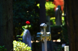 Una rosa nel cimitero acattolico